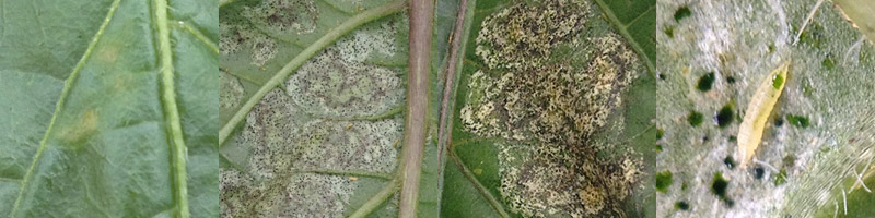 Thrips