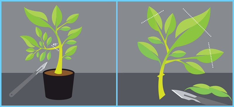 Taking a plant clone
