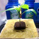 Burnley's Chilli Habanero Seedling Update