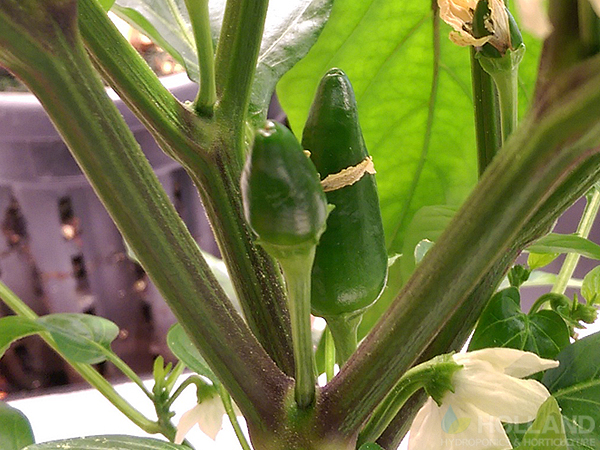 Chilli's forming at Week #7