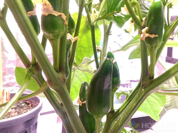 Burnley's Chilli Plant @ Week #8