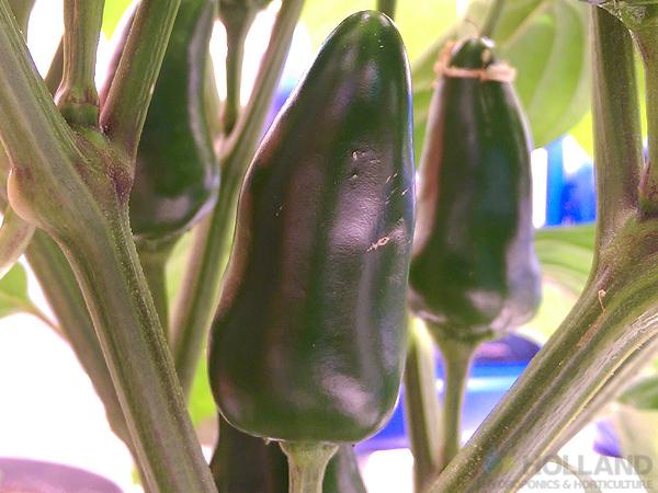 Burnley's Chilli Plant @ Week #10