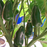 Week #10 And The Chilli's Are Piling On The Weight