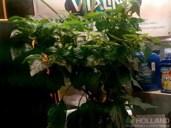 Chilli Plant In Burnley @ Week #12