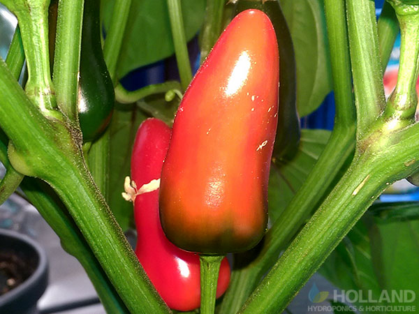 Chilli's turning red as they ripen