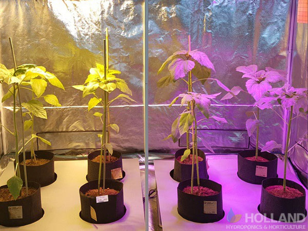 Using Root Pouches In Grow Tent