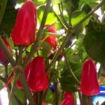 Week #14 – Chilli Harvest Is On The Horizon As The Flush Begins