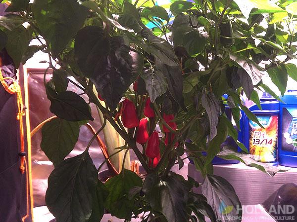 Burnley's Chilli Plant @ Week #14
