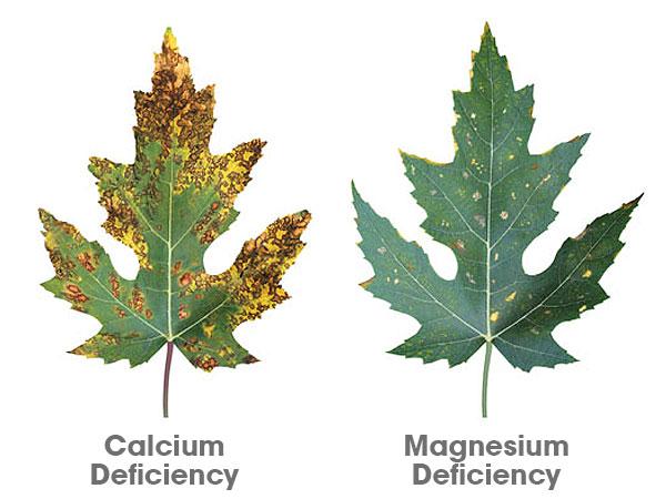Calcium & Magnesium Deficiencies - Illustrations by Canna