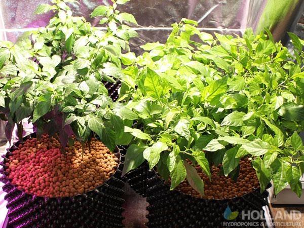 Chilli's in vegetative growth