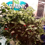 Thai Chilli Update - Second Harvest & VitaLink Turbo Competition
