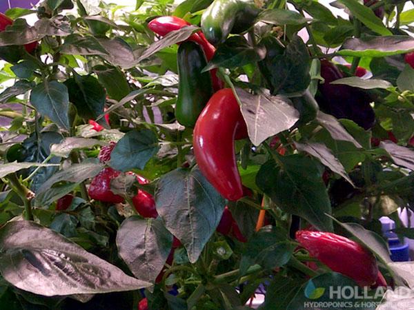 Thai Chilli Plant @ Week #22