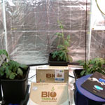 Watermelons @ Week #4 In 15L AutoPots Using Light-Mix & BioTabs