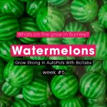 Watermelons @ Week #5 Continue To Grow Strong In AutoPots With BioTabs
