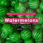 Watermelons @ Week 6 - Time To Start Pollinating!