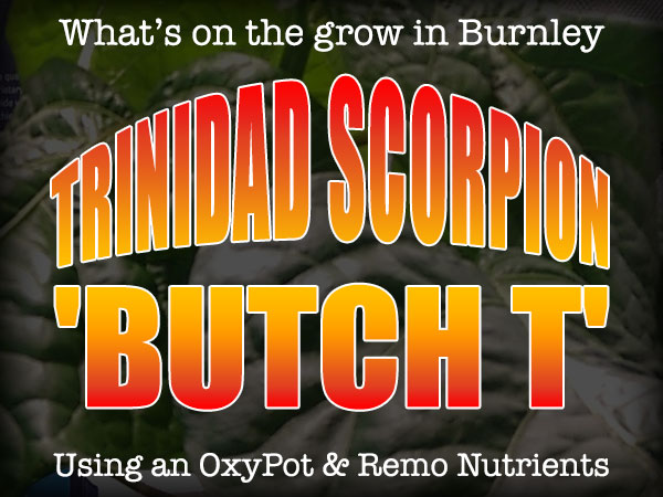 What's on the grow in Burnley - Trinidad Scorpion 'Butch T'
